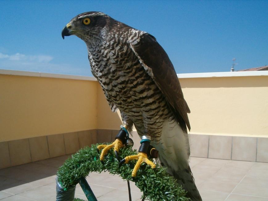 Compañeros, para todos los amantes de los animales, este es el Halcón peregrino de mi cuñado, se llama IRA y vive en Pamplona