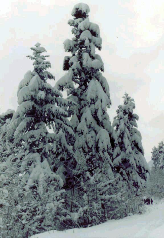 En una marcha de invierno. Al abeto en si no habria que hacerle mayor consideración, de no ser por la insignificantes figuritas esquiadoras-escaladoras de la derecha.